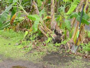 Fruit Trees For Central Florida - burrowing nematode disease