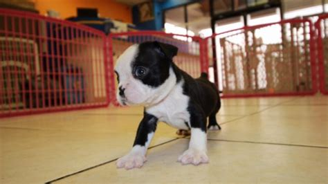 cheap boston terrier puppies for sale boston terrier pups for sale in photo