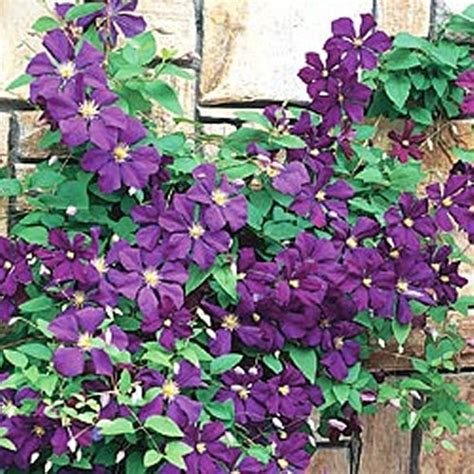 trellis climbing plants best climbing plants for trellises arbors and pergolas