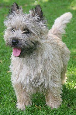 toto breed cairn terriers what s about em what s bad about em