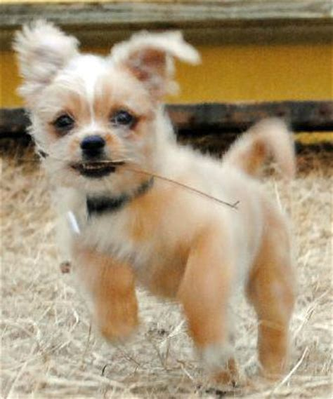 teacup chihuahua shih tzu mix shichi mix of chihuahua and a shih tzu