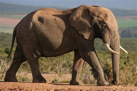 Elephant Bigsize Brown elephant animal facts and information