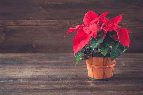Come Curare Stella Di Natale by Curare Una Stella Di Natale Come Far Durare La Stella Di
