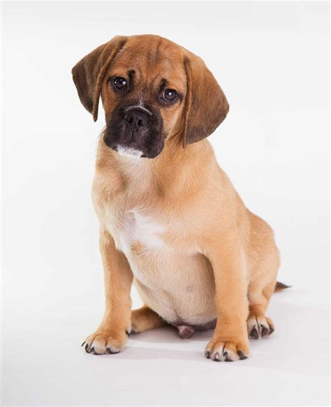 when are dogs considered adults puggle breed 187 everything about puggle