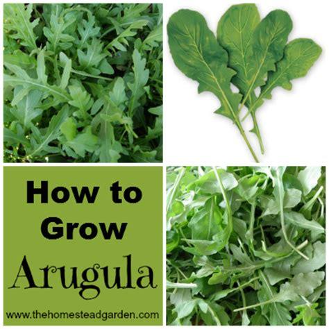 how to grow arugula the homestead garden