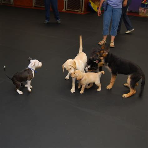 puppy socialization classes a s classes puppy thru