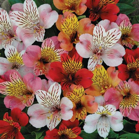 Unusual Vase Alstroemeria The Lily Of The Incas Kinds Of Ornamental