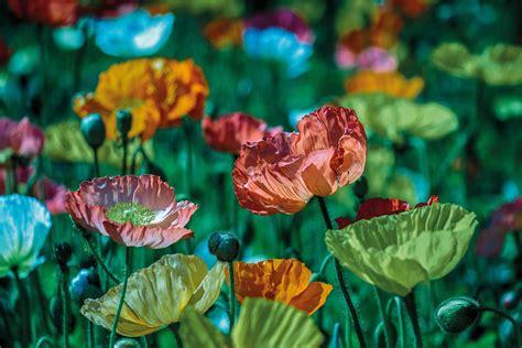 fashioned flowering plants     garden