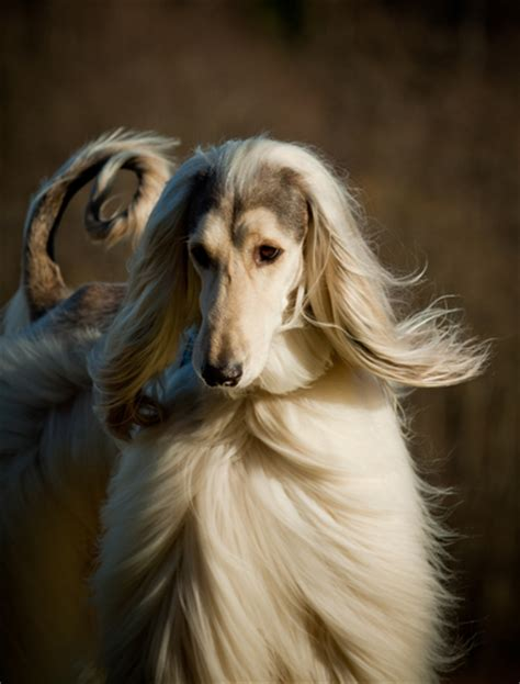 ancient breeds the 10 most ancient breeds iheartdogs