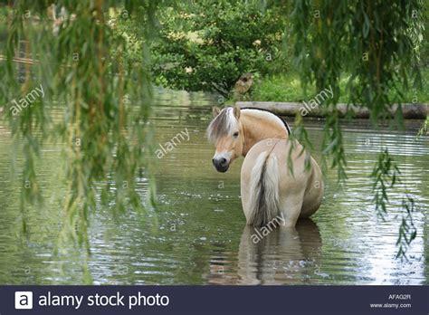 fjord water norwegian fjord horse standing in water stock photo