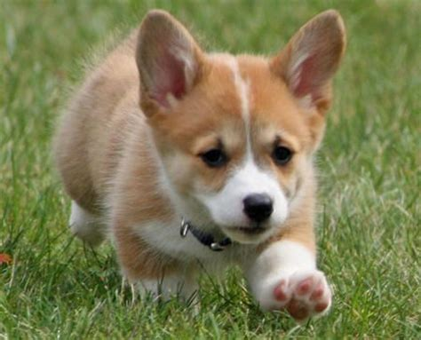 miniature corgi puppies corgi friday dogs