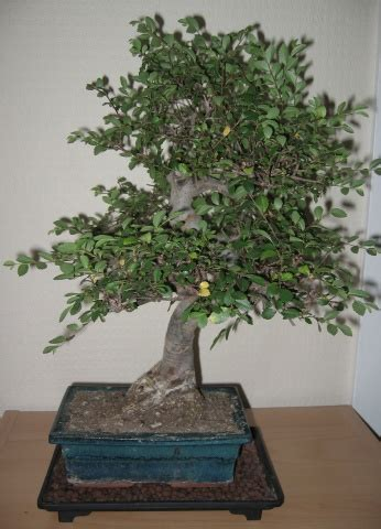bonsai interieur jardiland arbre dappartement