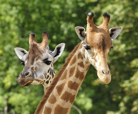imagenes de animales nuevas especies nueva especie en peligro de extinci 243 n las jirafas tecreview