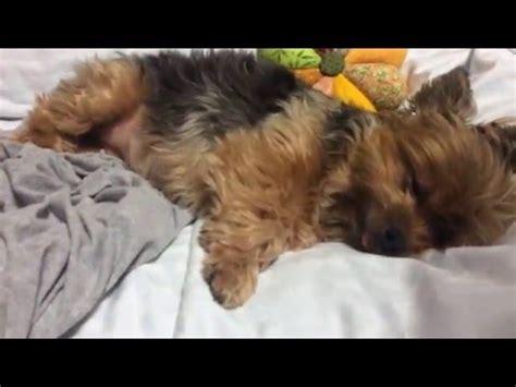 yorkie snoring yorkie snoring