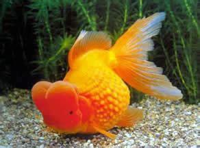 Balon Metalik Kecil kenali dan ketahui tentang ikan koi koki dan