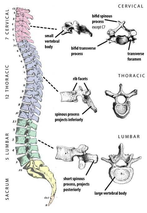 5 sections of the spinal column vertebrae at university of cincinnati studyblue