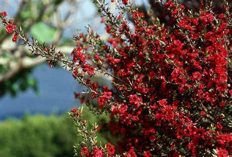 arbusti con fiori arbusti eccone alcuni a foglie rosse per giardini e siepi