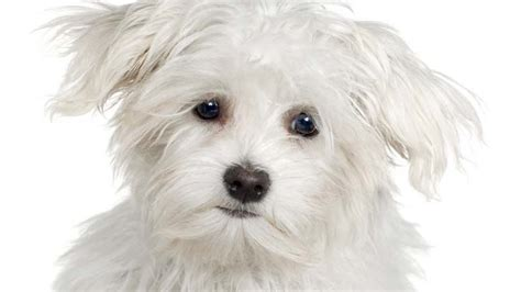list of hypoallergenic dogs hypoallergenic dogs list and pictures of popular breeds pet yak