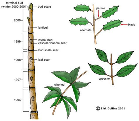tree and leaf diagram vegetative terminology part 1