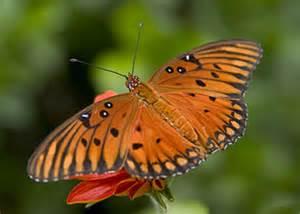 orange butterfly (Gulf Fritillary)   Simple Gifts Farm
