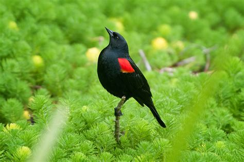 red winged blackbird bird light wind