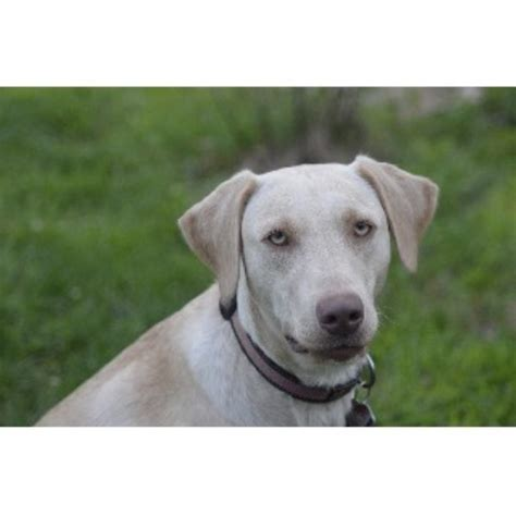 lab puppies nh unity pond labradors labrador retriever breeder in weare new hshire