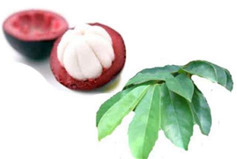 Obat Herbal Kulit Manggis Dan Daun Sirsak pengobatan herbal diabetes kering jus kulit manggis dan