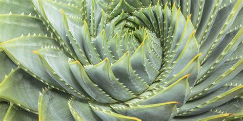 aloe vera plant facts facts about aloe vera aloe vera plant information