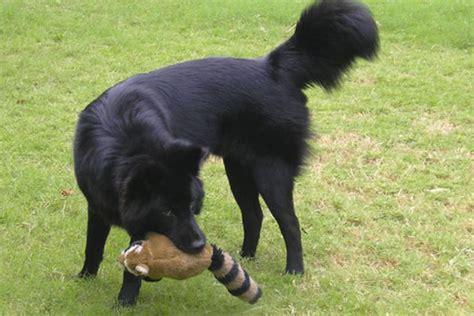 Anjing Kintamani Bali top news sejarah anjing kintamani