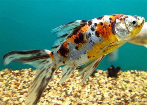 pesce alimentazione pesce rosso cura e alimentazione mondopets it