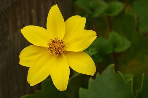 Bidens Pflanze by Goldmarie Goldzweizahn Bidens Ferulifolia