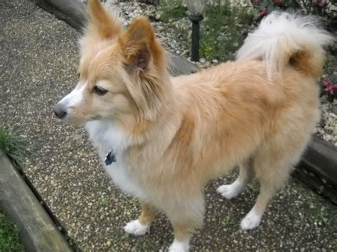 terrier and pomeranian mix foxy pomeranian terrier mix flowing acres pet sitters charles town wv 25414