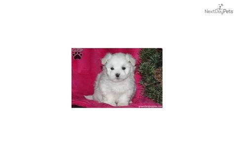 snowball puppy meet snowball a maltese puppy for sale for 700 snowball maltese