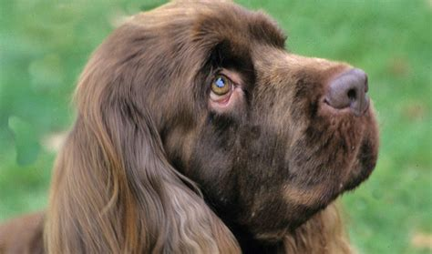 sussex spaniel puppies 1000 images about sussex spaniel on sussex spaniel field spaniel and