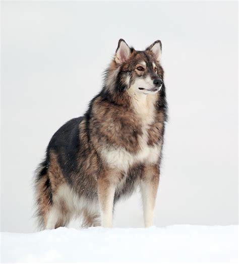 Huskies Turkis non chiamateli bastardi 30 esempi di bellissimi cani meticci incroci cani