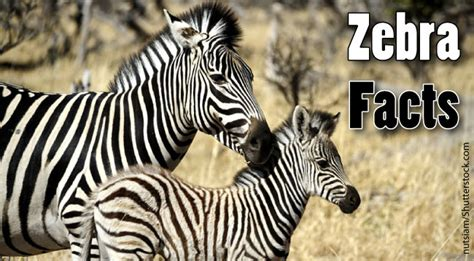 printable zebra facts zebra facts for kids adults information pictures more