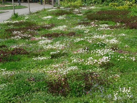 alternative lawns piedmont master gardeners