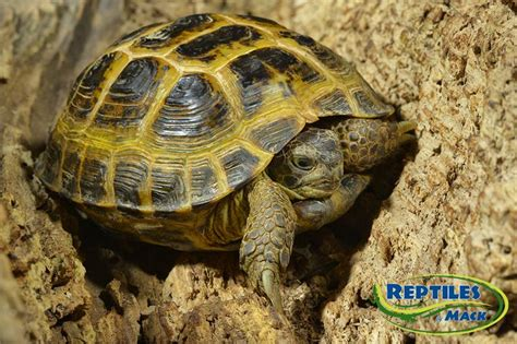 7 Tips On Caring For A Russian Tortoise by Russian Tortoise Care Sheet Reptiles By Mack