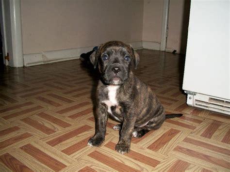 boxer pitbull puppies boxer pit lab mix puppies images