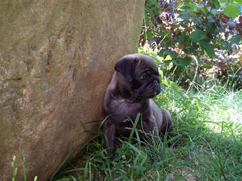 silver pug images 205 best images about silver apricot pug puppies on puppys brindle pug