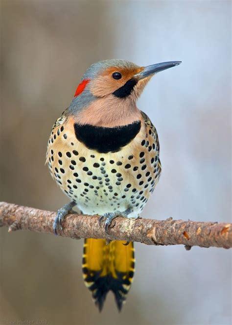 northern flicker birds pinterest