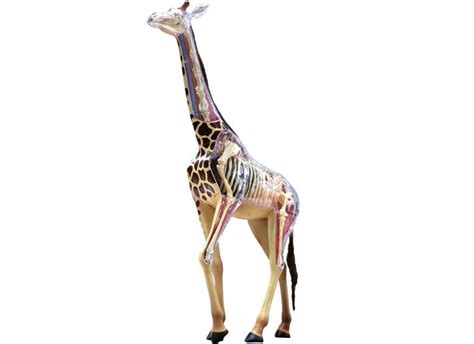 Puzzle 3d Giraffe 4d vision puzzle animal anatomy series 3d model new giraffe cutaway 26106 ebay
