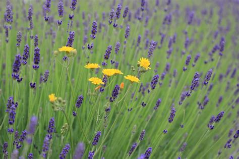 grow lavender plants   garden   containers