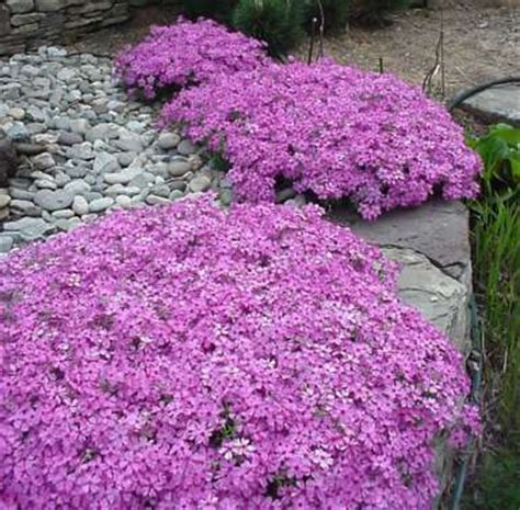 phlox wildflowers double duty groundcover plants that
