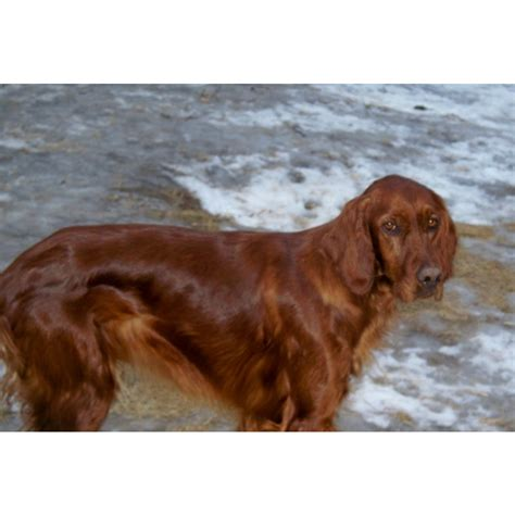 golden retriever puppies for sale in northern ireland how to tell a setter from an setter breeds