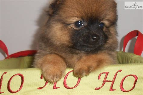 pomeranian puppies for sale chicago pomeranian puppies for sale pomeranian puppies for sale in ny breeds picture