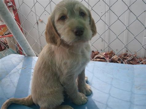 dogs for adoption in iowa goldendoodle lab puppies for sale adoption from columbus junction iowa adpost