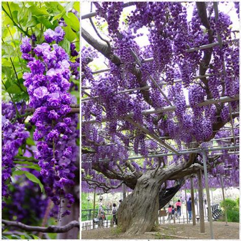wisteria flower tunnel japan 100 japan wisteria tunnel wisteria u2013 travel