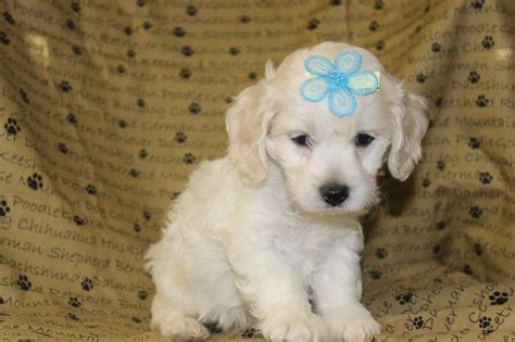 maltipoo puppies for sale in md 17 best ideas about maltipoo puppies for sale on teacup maltipoo