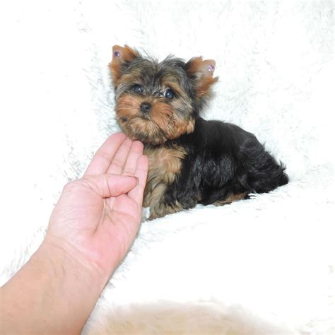 yorkie buy terriers for sale buy teacup yorkie abigail